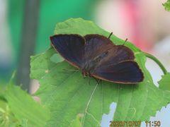 森のさんぽ道で見られた蝶(57)ムラサキツバメ、キタテハ、クロコノマチョウ、ナミアゲハ他