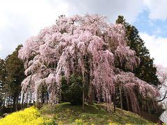 合戦場のしだれ桜・中島の地蔵桜