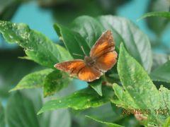 森のさんぽ道で見られた蝶(58)ウラギンシジミ、キタテハ、ウラナミシジミ、キタテハ、キチョウ他