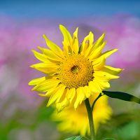 長閑な田園地帯に夏と秋を代表する花達の大競演