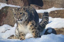 真冬のアメリカ 寒い時には寒いとこへ7「北米大陸最北の動物園♪アラスカ動物園へ行ってきた(氷河もあるよ)アンカレッジ編2/12」