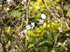 秋に咲く桜、再々(小菅ヶ谷北公園散策の森ゾーン)