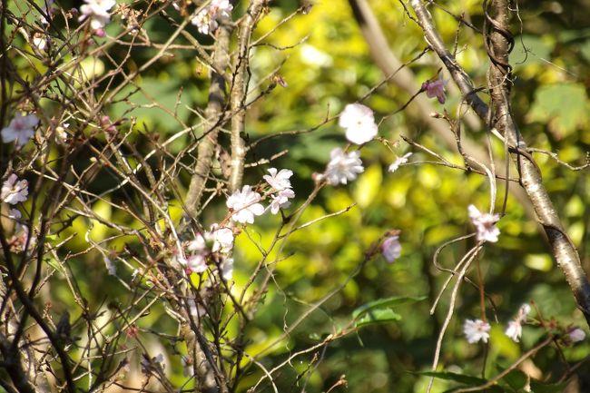 朝からの秋晴れではあったが、富士山は顔を出さない。先日や一昨昨日には曇天で午後には雨になったが、それでも富士山は見えていた。富士山は雲の中でも、秋晴れの中、散歩に出掛けた。<br /> 小菅ヶ谷北公園散策の森ゾーン山頂付近の桜はまだ咲いているのか?確認してみた。今月(10月)7日にはもう咲いていた桜(https://4travel.jp/travelogue/11651266)が11日(https://4travel.jp/travelogue/11652243)よりも花が多く見られる。少なくても、もう半月の間は咲いているのであるから、春の桜よりも花の寿命が長いことは確かなようだ。しかし、この山の麓にある飛石や小菅ヶ谷北公園自然観察ゾーンで秋に咲いた桜は11日には散り始めか散り際であったので、まだまだ咲き続けているここ小菅ヶ谷北公園散策の森ゾーン山頂付近の桜は少し変な感じだ。ここに植えられた5、6本ほどの桜の木のうち、この今咲いている桜の木は染井吉野ではなく、十月桜なのかも知れない。園芸業者が桜の株を間違えて染井吉野のつもりで植えたものかも知れない。そういえば、ここの傍を通る道路も飛石から南には両側に銀杏の木の街路樹が続いているが、雄株だけのつもりが、中には雌株が混入してギンナンの実がなる株が所々に見られる。見られるというか、秋のギンナンの季節には落ちた実が腐って異臭を放つから誰でも分かることだ。<br />(表紙写真は小菅ヶ谷北公園散策の森ゾーンで秋に咲き続ける桜)
