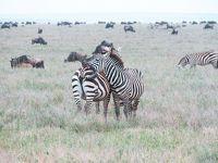ライオンの赤ちゃんに遭遇!サバンナをドライブ|タンザニアでサファリ④