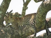 野生動物の宝庫!セレンゲティ国立公園でヒョウに遭遇|タンザニアでサファリ⑤