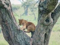 木登りライオンに会えた!セレンゲティ国立公園|タンザニアでサファリ⑥