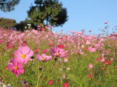 花の丘のコスモスと 色づくイチョウ並木♪ 国営昭和記念公園