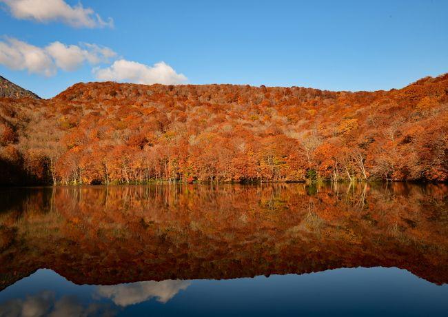 コロナの第2波は落ち着いてきたが、終息の気配はない。これは長期戦だ、この際、気をつけて旅に出ようと思った。目指したのは青森で、紅葉を狙った。宿泊先は八甲田ホテル。食事が美味しく、コロナ対策もしっかりしていた。<br /><br />奥入瀬と十和田湖畔の紅葉は将に見頃で、様々な色合いの木々が美しい風景を織りなしていた。八甲田山麓の紅葉は散り始めとのことだったが、道路の両脇を飾る紅葉はまだ見事で、城ヶ倉大橋からの景色にも満足した。最近、有名になった蔦沼では衝撃的な水鏡に遭遇した。青森市内の、ねぶたの家ワ・ラッセや三内丸山遺跡まで観光して見所満載だった旅を締めくくった。<br />