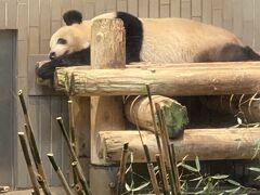 今年いっぱいでいなくなるシャンシャンを上野動物園に見に来ました。写真撮影70分待ち!!