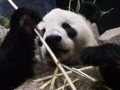 シャンシャンに会えるかな上野動物園に行って来た!※写真はリーリーです