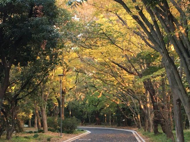 """今週、人生で初めての京都の紅葉を見物する。<br />今年は、夏の猛暑後、秋のさわやかさが無いまま、初冬に入ってしまい、朝晩が特に寒い日が早くやって来た。<br /><br />今まで、紅葉見物も気に成らない訳ではないが、友人達の誘いに乗っての京都の紅葉は、正直初めてで、調べ始めたら、なんとすんごい人込みだそうで・・・友人たちに会うのは、賞味1日、また、京都に詳しい知人が一緒に泊まってくれる事に成り、1日、後の1日は、ひとり行動・・・どうする?と数日調べ始めた・・・21日からの3連休前は、4か月前でもビジネスホテルさえ、10倍以上の高騰宿泊費に成った・・・(だから今まで京都の紅葉は行けなかったのね)<br /><br />そんな時に、今日はお天気で昼間は暖かくなり、仕事も休みに成ったので、近所に紅葉探しに出かけた。<br />もっと山の方に行けば良いのですが、手慣らしに、近所の緑地公園に・・・<br /><br />悲しいかな…この夜に、スポーツクラブに行ったのですが、帰りの夜、まさかの・・・前方不注意の女性の車に、駐車場内で轢かれました・・・<br /><br />救急車で搬送され、検査入院1日、私は不死身か?!""""?<br />骨折も無く、打ち身だけで、退院した。<br /><br />夏子は、冒険して居ないのだが、どうも、災難癖が有るようだ・・・<br />お子ちゃまを乗せたお母さんの運転の車は大型で、流石の夏子も、轢いた事を気付かなかったその女性に、足まで轢かれなかったのは、有難く神の意志だと思いつつ、未だ全身痛いですが・・・明後日、京都には行こうとしている。・・・<br />まさかの轢かれた時は、これで京都行きダメか???と思いましたが・・・<br />行って来ます!(ひとりで。。。)<br />ちなみに、ご心配下さるメールにお返事する時間が無いので、お気持ちだけで充分です。お許しください。<br /><br />紅葉名所の場所だとされる、京都の美しさや、GoToトラベルでも、コロナ感染が広がる日本中の観光地の様子を、次に報告できると良いと思っています。地元の紅葉ですが、良かったら・・・ご覧下さい。"""
