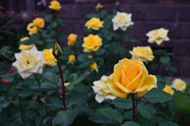 ぷらっと東京さんぽ《Scene.4》~旧古河庭園で華やかな秋薔薇を愛でる~