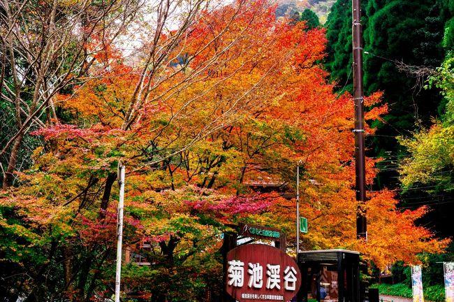 渓流にかかる紅葉が美しい菊池渓谷へ行ってきました。<br /> 菊池渓谷は、熊本県で一番人気の紅葉の名所です。朝4時半に家を出て、7時に菊池渓谷駐車場へ到着し、早朝の渓流と織りなす紅葉を楽しみます。 <br />