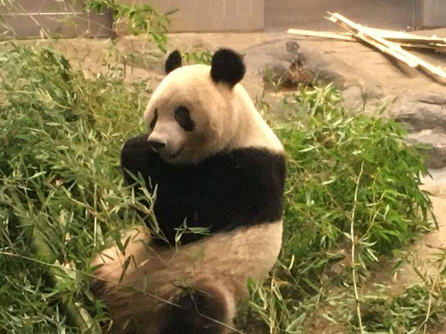 間もなく中国へ帰国予定のパンダのシャンシャン。<br />日本で会える最後の機会だと思い、ぜひ起きている姿を一目見たく上野動物園へ行ってきました。<br />
