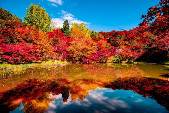 続いて、朝地町用作公園の紅葉です。<br /> 前回(11月3日)は、池の周囲だけが色づいていましたが、今回は全体が見頃でした。