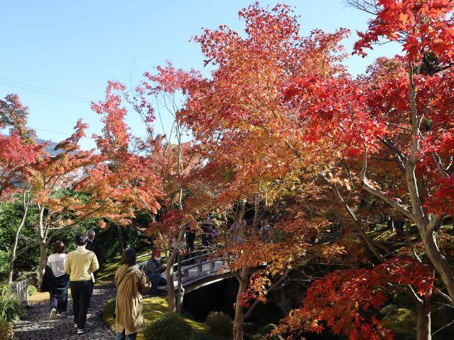 ちょうど紅葉が見ごろの箱根・強羅に行ってきました。<br />強羅公園と箱根美術館を中心に、箱根湯本と強羅の往復は、箱根登山鉄道で。<br />帰りは塔ノ沢で降りて、早川沿いを歩いて箱根湯本へ。<br />強羅は、紅葉がちょうど見ごろでしたが、標高の低い塔ノ沢、箱根湯本は、紅葉はまだ真っ青でした。