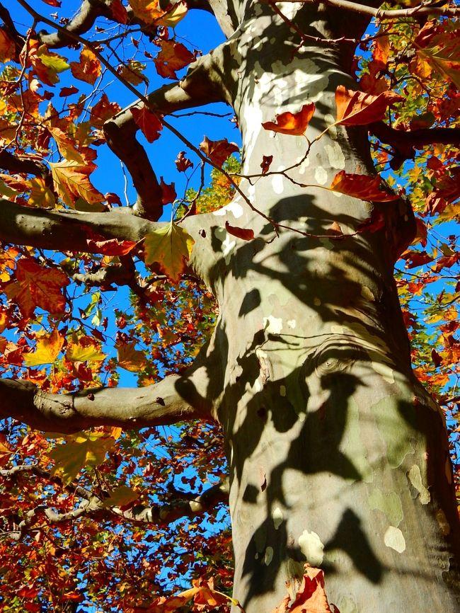 例年よりちょっと早めに,晩秋の神宮外苑から新宿御苑と歩いてきました。<br />都心も徐々に秋色が目立ってきました。
