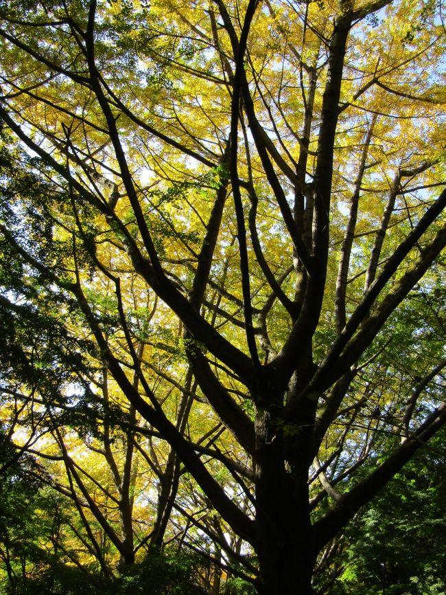 鎌倉市二階堂字新立にある通称「獅子舞谷」(ししまいがやつ)は銀杏紅葉(いちょうもみじ)が見頃となり、銀杏の木々の下の山道には落葉した銀杏の葉が積もりつつある。この連休には黄金の絨毯の上を歩くことが出来ようか。<br /> 一方、ようやくもみじの紅葉が始まりつつある。11月だというのにこの暖かさで3日前(11/16)(https://4travel.jp/travelogue/11660930)とは微妙に紅葉が進んでいるといった感じで、やはり、一般に言われているように、朝方の温度が8℃を割るようにならないと紅葉は進まないのであろう。11月が異常に暖かかった今年は通称「獅子舞谷」の紅葉は例年であれば12月初旬が見頃を迎えていたが、今年はそれよりも遅くなるものと考えられる。<br /> なお、今年は黄葉と紅葉とが相当にずれてしまった。今は銀杏紅葉が見頃といっても、もみじの青葉がそれを邪魔している。この90年余りの間に銀杏の木は大木となり、空高く聳えているが、いかんせんもみじの背丈は銀杏の木の大木には及ばない。そのために、今年の下から望む銀杏紅葉はとても残念な結果となっている。<br />(表紙写真は獅子舞谷の黄葉紅葉)