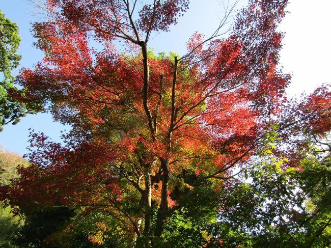鎌倉市に鎮座する鶴岡八幡宮(https://4travel.jp/travelogue/11660986)の紅葉は、数日前に見頃を迎えているとTVで放送されていた。実際に、先日から柳原神池の湖畔の紅葉は見頃になりつつある。<br /> 一方、鶴岡八幡宮の舞殿横の銀杏の木と引き倒された大銀杏の株に芽生えたひこばえの黄葉は進んではいない。そんな中で、鎌倉国宝館の銀杏の木々は銀杏紅葉が落葉を迎えつつある。同じ境内でも銀杏の木は樹齢と供に黄葉は遅くなる現象が見られている。<br /> しかし、今日の鎌倉の自然現象は初めてのことだ。JR北鎌倉駅で下車すると靄が立ち込めている感じだ。アスファルトや石畳が濡れて雨が降ったかのようだ。しかし、砂利や砂、土は濡れてはいない。何か変だ。瑞泉寺の料金所のおじさんに聞くと、「汗をかいたんだ。」という。11月のこの時期なのに、気温がとんでもなく高く、大気中の湿度が100%となって結露してアスファルトなどを濡らしているのだ。結露しにくい場所では濡れてはいない。<br /> それにしても、歩くと汗ばんでくる。巨福呂洞門で長シャツを脱いでTシャツになった。今日は、そのまま夕方まで半袖だった。<br />(表紙写真は柳原神池の湖畔の紅葉)