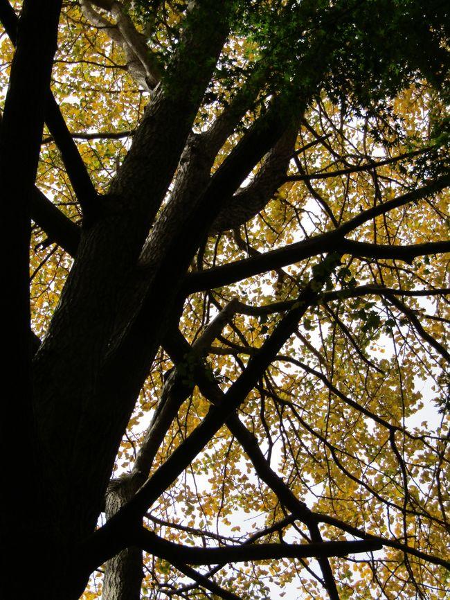 今日は通称「獅子舞谷」(ししまいがやつ)の銀杏の木の落葉具合を見に行く。月曜日(11/16)、木曜日(11/19)に続いて今日(11/22)だ。そう3日おきだ。<br /> 直近の週は11月としては非常に温暖であり、紅葉が進むということはなかった。一方、銀杏は黄葉が始まると暖かい日でも次第に進んで行くようだ。木曜日(11/19)には下の山道に落葉した銀杏の葉が積もり始めていた。金曜日(11/20)には風が強かったので落葉が進んだのであろう。今日は銀杏の木に残っている葉は半分かそれ以下の木もあり、下の山道に落葉した銀杏の葉がかなり厚く積もっている。しかし、落ちたばかりの落ち葉ではなく、昨日(土曜日)に訪れた人たちが踏んでしまっている感じで、ぴかぴかの黄金の絨毯という訳ではない。もう銀杏紅葉(いちょうもみじ)の見頃は過ぎてしまっているが、それでいてもみじの紅葉が見られるという訳でもない。今年は銀杏紅葉と紅葉とが一番離れてしまった年になるのであろう。来週の週末あたりには紅葉具合を確かめに行きたいと思っている。<br /> なお、今日は通称「獅子舞谷」に下りるつづら折りの山道から富士山を見ようと勇んで行ったが、あいにく、お昼前から曇り出し、残念なことであった。<br />(表紙写真は獅子舞谷の黄葉紅葉)