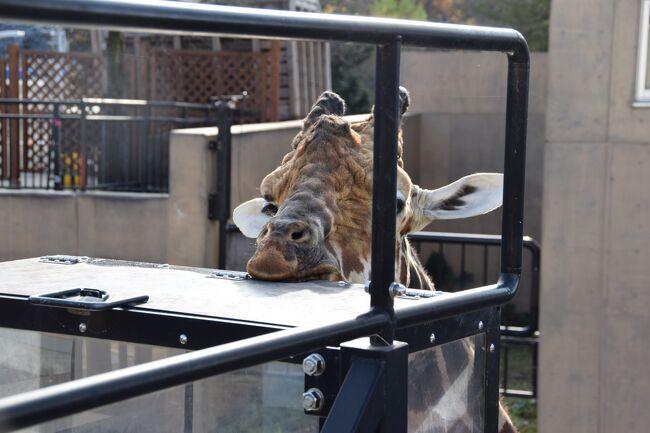 久しぶりに孫たちと旭山動物園に行った。孫たちと最初に旭山動物園に行ったのは2014年。その時一人だった孫も3人になった。当時は旭山動物園のウリである行動展示に惹かれ見どころを探しまわったが、今回は見学の行程をほぼ時系列でご紹介したい。<br />なお今回のホテル宿泊で驚いたのは、チェックインの際に頂いた旭川おもてなしクーポンだ。旭山動物園の入場券とセットになったプランで予約していたので、動物園入園前にホテルでチェックインすると、GoToクーポンの他に旭川おもてなしクーポンを頂いた。1冊2000円(500円×4枚)の人数分つまり大人と子ども合わせて7人分頂いた。旭川の飲食業界の活性化が目的なのであくまで飲食店中心で、使用できる飲食店の一覧表のような紙媒体もなく、ネット検索が頼りだが、使えるところを見つけると効力を発揮した。それも合わせてご紹介したい。<br />
