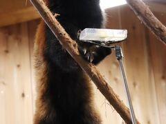 車デビューの富士サファリと伊豆リベンジ遠征(5)伊豆シャボテン動物公園:リベンジできたレッサーパンダのリンゴのエサやりタイム