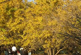 2020秋、蟹江城・長島城と公孫樹の黄葉(5/5):11月21日(5):山崎地区、公孫樹の黄葉、裕専寺、メジロ、銀杏