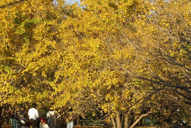 2010年以来、10年振りの祖父江町の山崎地区のイチョウの黄葉の見学でした。祖父江町には樹齢100年を超えるイチョウの大木が数多く存在し、ギンナンの生産は日本で最も早く100年ほど前に始まったようです。