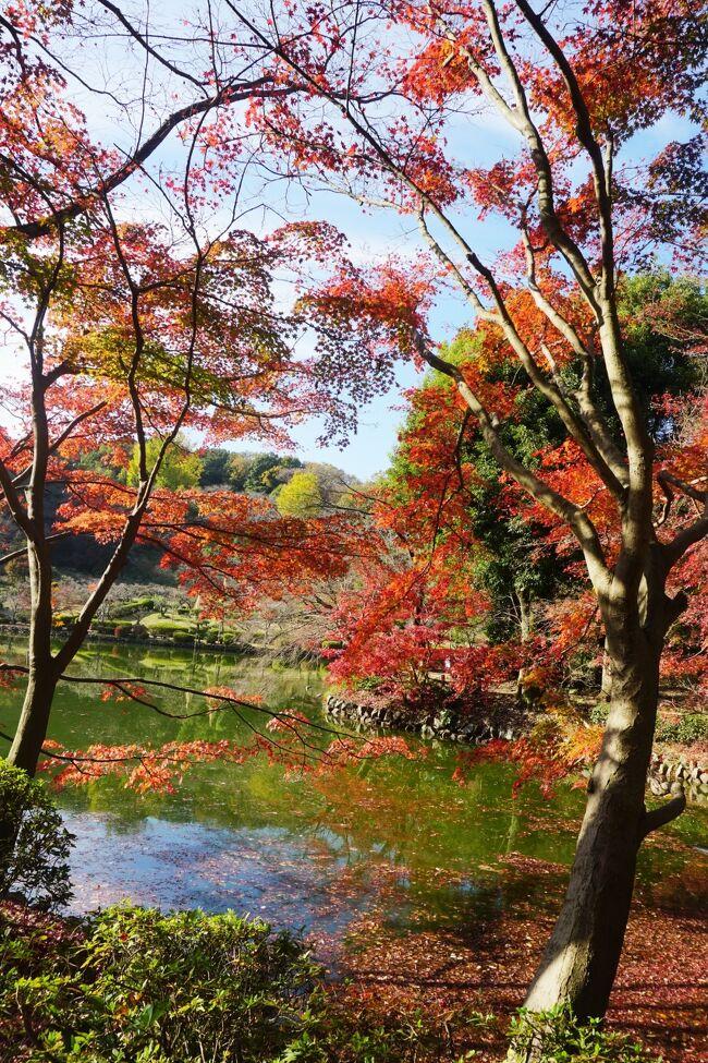 町田市にある薬師池公園のもみじを見てきました