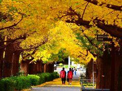 横浜の黄葉、慶応大学の銀杏並木と山下公園の銀杏並木。老舗牛鍋屋姉妹店のハンバーグと横浜歴史的建造物