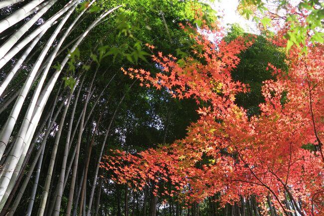 (写真は祇王寺の紅葉)<br /><br /> さて、今年の紅葉はどんなものか、年末毎の楽しみです。<br />京都の大寺院には臨済宗派が多いのに、改めてビックリです。(花頭窓があれば禅宗系の寺とわかります)。京都・奈良にはここ10年で10度ほどお邪魔しました。廻った寺社も50以上でしょうか、今回でやっとひとまわりした、という感じです。<br /><br /> ●初雪や赤☘隠してモンブラン <br /><br /> ●コロナなど十年早いと追い返せ<br /><br /> ●逃げる秋追いかけて今日嵯峨野<br /><br />昨年の紅葉(1)大原、高尾<br />https://4travel.jp/travelogue/11573724<br />昨年の紅葉(2)永観堂、相国寺など洛東<br />https://4travel.jp/travelogue/11573780<br />今までの京都・奈良<br />https://4travel.jp/travelogue/11665716#travelogue_groupArea<br />