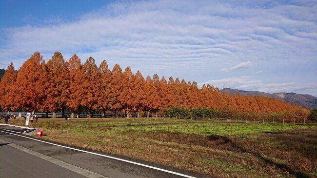 とあるサイトで滋賀県のメタセコイア並木道が今、とっても見頃だという情報を察知して。これは行ってみなきゃ、ということでせっせと車を走らせて行ってきました。場所は高島市のマキノ高原。人生の中で一度も縁のなかった場所ですが、こんなに綺麗な並木道があったとは知らなかったなぁ。<br />というわけで、以下な行程です。<br /><br />①自宅からひたすら下の道を走って「奥琵琶湖水の駅」<br />②「マキノ追坂峠」<br />③「マキノ高原メタセコイア並木」<br />④マキノ高原温泉さらさでまったり入浴<br />⑤道の駅「藤樹の里あどがわ」でランチ<br />⑥「ネ本屋」でパンのお買い物<br />⑦道の駅「妹子の郷」<br />⑧大津IC~名神高速で「大津SA」で休憩して新名神へ<br />⑨途中「土山SA」「鈴鹿PA」に寄って帰宅<br /><br />今回も参考にならない&amp;脈絡のない旅行記です。<br />よかったらチラ見してやって下さい。<br />