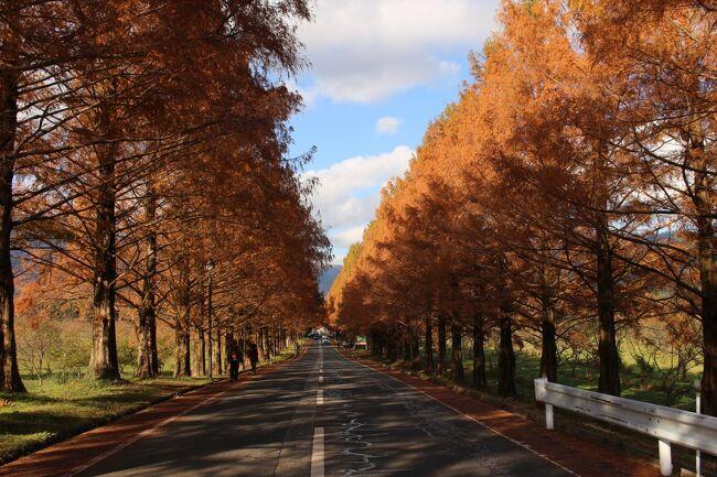 ここの存在を知って数年、場所がら日本海側の気候の影響も受け、見頃と休みと晴れ予報とはならず、ようやく今年晴れ予報となって紅葉のメタセコイア並木を堪能することができました。<br />実は2年前も午後から晴れ予報を信じて来てみたのですが、予報と違って曇天、今度こそと思っていました。<br />帰路立ち寄った西教寺の紅葉ライトアップもよかったです。