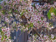久し振りに、頭をすっきり・・・床屋へ行った帰りに新池公園付近の桜を見てきました 下巻。