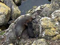 大自然の中に住む、素敵なオタゴ半島の動物たち エルムエンカウンターツアー編