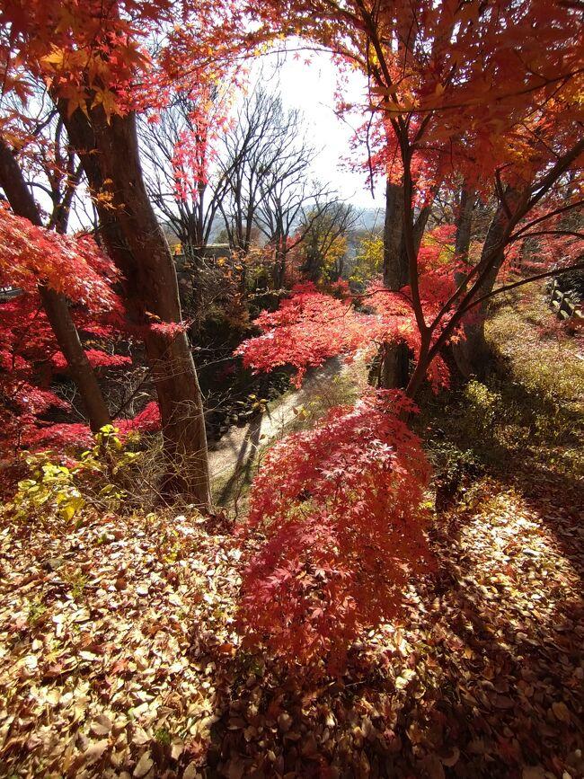 秋真っただ中の2020.11中旬信州を訪れました。今回の旅は小諸の某リンゴ園にて初めて林檎のもぎ取り体験をさせていただくことになり、勇んで信州に出かけていきました。初日は中央道で一路諏訪へ。諏訪では信濃國一之宮である諏訪大社下社秋宮・春宮・上社本宮で諸祈願をし、高島城、セラ真澄、諏訪湖畔、くらすわ、を訪れました。翌日は新和田トンネルを通って小諸を訪れ小諸城址、懐古園で見事な紅葉を堪能し、丸山珈琲でとても美味しいコーヒーを味わいました。最終日には御牧ケ原の林檎園で林檎もぎ取り体験をすることができました。林檎園では「ふじ」収穫の真っ最中で、地元の林檎娘に交じってひたすら林檎の収穫をお手伝いすることができ、大変新鮮な体験をすることができました。<br /><br />それでは2日目は小諸城址の紅葉を堪能した旅の記録のスタートです。