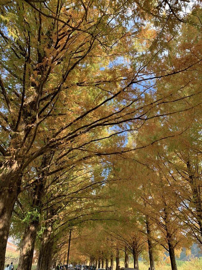 湖国の紅葉を巡る旅6 メタセコイア並木と金剛輪寺