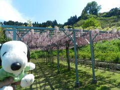『森林公園スイス村』で芝桜&『花郷OKADA』で藤の花◆丹後半島へ日帰りドライブ《前半》