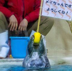伊勢旅02: 会いたかったよー!!メイちゃん! 鳥羽水族館のアイドル ラッコに会いに行く