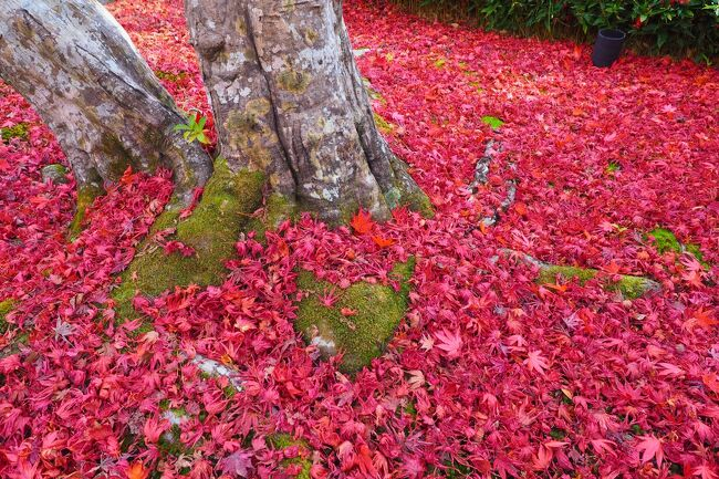 久しぶりに訪れた紅葉の京都。<br />昨年までは、国内外の観光客で大混雑だったけど、今年はのんびり見てまわれるに違いない。<br />という事で、2泊3日で秋の京都を満喫してきました。<br /><br />今回は、京都市内に加え、以前から訪れてみたかった南丹市にある美山かやぶきの里も訪問。山間の中の、のどかで美しい集落でした。<br /><br />肝心の紅葉は・・・?<br />今年は、短期間に一気に色づいて過ぎ去ってしまったのか、ちょっと見頃が過ぎた感じではあったけど、それでも十分にいつもと違う特別な京都を満喫することができました。<br /><br />ANAトラベラーズダイナミックパッケージ(Gotoトラベル利用)<br />往路:10/26 NH17便 羽田09:00発→伊丹10:10着<br />復路:10/28 NH40便 伊丹20:20発→羽田21:30着<br />ホテル:三井ガーデンホテル京都四条(朝食付き)<br /><br />【旅程】<br /> 1日目:圓通寺・毘沙門堂・高台寺<br /> 2日目:美山(南丹市)・南禅寺・真如堂・金戒光明寺・永観堂<br />★3日目:渡月橋・宝厳院・苔寺・鈴虫寺・宝筐院・祇王寺・常寂光寺