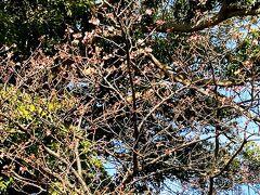 登録有形文化財「藤間家住宅主屋」の寒桜が開花しました