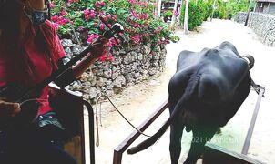 2020 爺とお嬢 南の島で水牛車のハシゴ