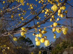 「受楽寺」のロウバイ_2021_開花が進んで、5~6割くらい咲いていました(群馬県・太田市)