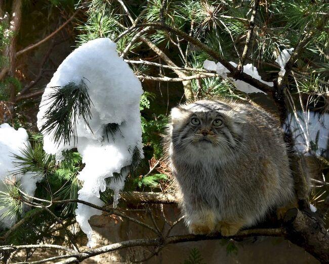 立山室堂で いつか実物を見たいと思っていた野生のライチョウに会う機会がありました。<br />でも 冬毛で真っ白になったライチョウを見るのは・・・雪の高山に登って、なんてありえない。<br />しかし 国内数か所の動物園で 保全活動中のライチョウが公開されているのです。<br />そんな 公開中の冬毛のライチョウが見たくて ついでに珍しい希少動物にも会える<br />那須どうぶつ王国へ行ってきました。<br />