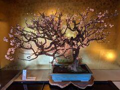約20年ぶりの長浜盆梅展