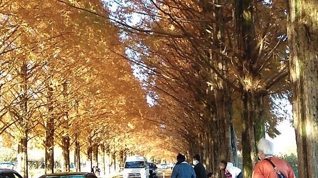 滋賀のマキノにあるメタセコイア、紅葉がきれいらしい。自宅からは車で一時間。<br />見に行ってきました。