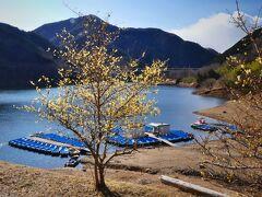 「梅田湖ロウバイパーク」のロウバイ_2021_見頃が始まっています(群馬県・桐生市)