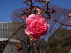 真冬のバラ、ウメを愛で、諏訪神社でコロナ禍収束を祈願ーーー。