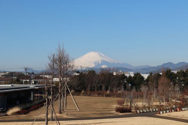 以前、花菜ガーデンへ出かけてとてもお花がきれいでしたので<br />今回もまた出かけてきました。<br />今の季節は、蠟梅、マンサク、菜の花、梅、ビオラ、パンジーなどが<br />きれいです。<br />冬の富士山もきれいです。<br />駐車場は広く1日500円です。<br />近くにJAのあさつゆ広場がありお野菜などの販売をしています。<br />ランチは平塚にあるちくぜんさんへ。<br />おうどんの美味しいお店です。<br />その後、中井中央公園へ出かけてみました。<br />