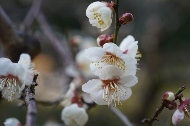 晴れ後雨な予報なんで、どないしようかなと詳細見てみたところ、午前中は降らない感じかな?んじゃ、お出かけ。<br /><br />観光案内所のHPとか神宮のHPとかで、梅が咲きましたってんで、平安神宮の神苑まで。